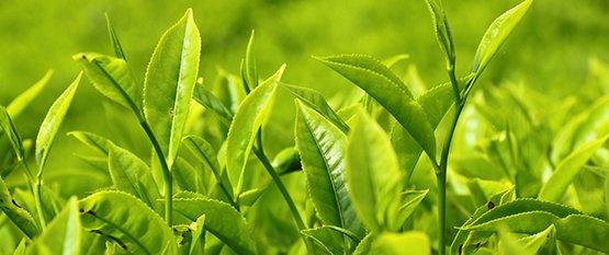 Hvad er grøn te?