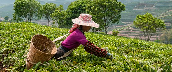 Hvilken grøn te er bedst?