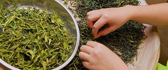 Te og Sundhed: Hvilken grøn te er sundest og hvad er grøn te godt for?
