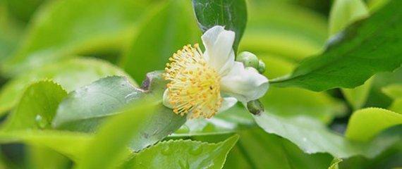 Skriv dig op til en teplante - vi tager nye planter hjem til foråret 2020